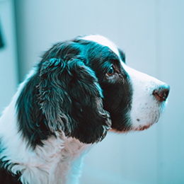A spaniel dog at a vet office