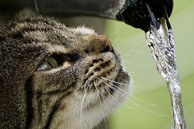 Cat with water